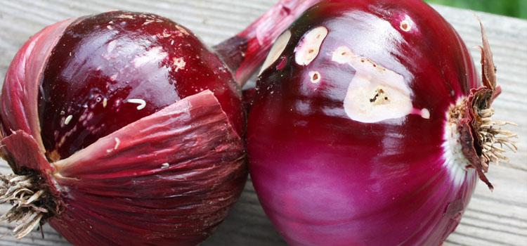 Gusanos de raíz de cebolla