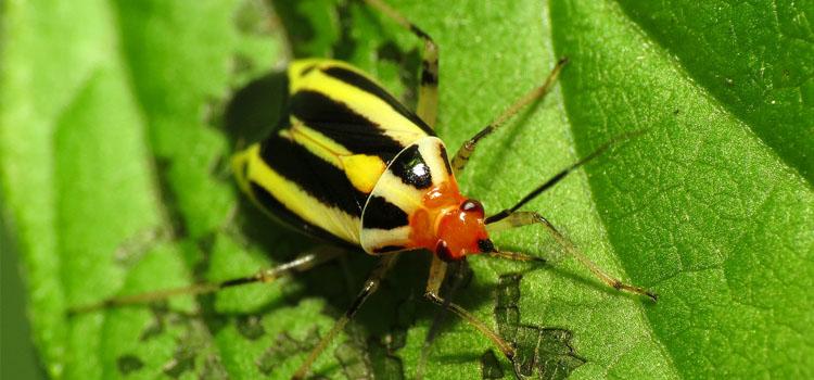 Insecto vegetal de cuatro líneas