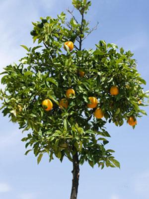 Naranja (cultivo en contenedor)