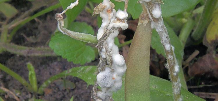 Enfermedad de la caída de las hojas en una planta de frijol
